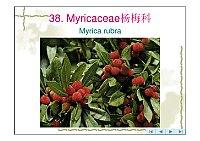 园林树木学_赵九州_Myricaceae杨梅科